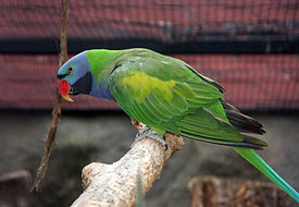 Psittacula derbiana -aviary -male-8a.jpg