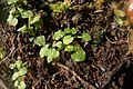Pterostylis trullifolia.jpg