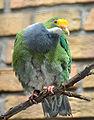Ptilinopus aurantiifrons -Berlin Zoo-8a.jpg