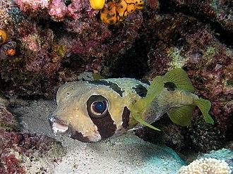 Diodon - Image: Pufferfish komodo