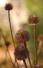 Purple Coneflower Echinacea purpurea Dried Multiple 1911px.jpg