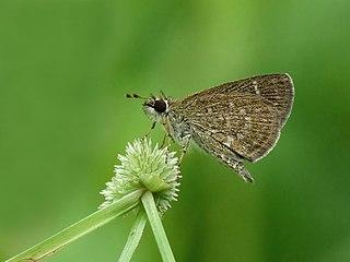 <i>Aeromachus pygmaeus</i> species of insect