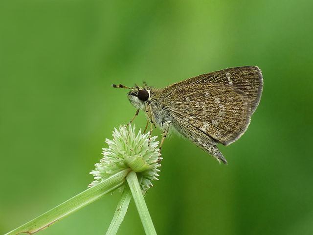 File:Pygmy Scrub-hopper Aeromachus pygmaeus.jpg - Wikimedia Commons