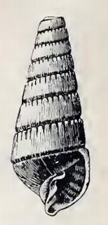 <i>Pyramidella hastata</i> species of mollusc
