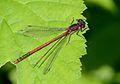 Pyrrhosoma nymphula3.jpg