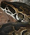 Python sebae 1zz.jpg
