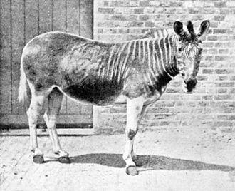 Quagga - The mare in London Zoo, 1870