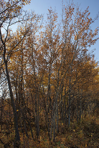 "Aspen parkland - The Populus tremuloides (""trembling"" or ""quaking"" aspen) is the dominant tree species of the parkland belt.  Shown here in fall colours in west of Saskatoon, Saskatchewan."