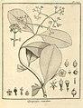 Quapoya scandens Aublet 1775 pl 343.jpg