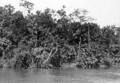 Queensland State Archives 1281 Tropical vegetation on the banks of Russell River c 1935.png