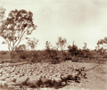 Queensland State Archives 3997 Merino sheep ready for shearing Jondaryan 2 November 1894.png