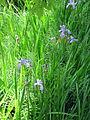 Quelques iris.JPG