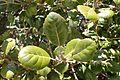 Quercus alnifolia 11.jpg