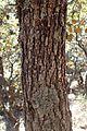 Quercus alnifolia kz10.jpg
