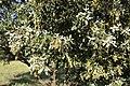 Quercus ilex (Fagaceae) (41188216575).jpg