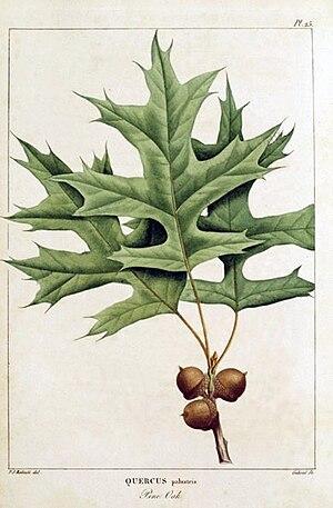 François André Michaux - Quercus palustris, by Pierre-Joseph Redouté for François André Michaux, 1801