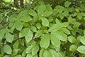 Quercus serrata 05.jpg