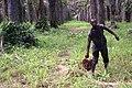 Récolte de graines de palme 5.jpg