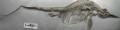 ROM-Dinos Stenopterygius.png