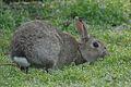 Rabbit Burrow Mump (6797917380).jpg
