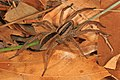 Rabid Wolf Spider - Rabidosa rabida, Meadowood Farm SRMA, Mason Neck, Virginia (39149137181).jpg