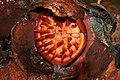 Rafflesia kerrii old.jpg