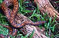 Rainbow Boa (Epicrates cenchria) juvenile (13908858358).jpg