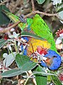 Rainbow lorikeet, Trichoglossus haematodus, feeding on flowers at the Royal Botanical Garden, Sydney, Australia (17071513915).jpg