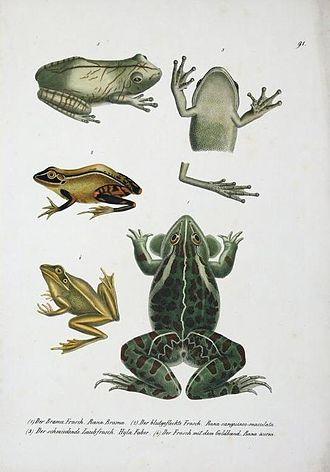 Rana brama - Rana brama (bottom right)