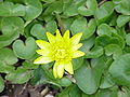 Ranunculus ficaria4.jpg