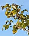 Raspberry (Rubus idaeus) - Oslo, Norway 2020-08-26 (02).jpg