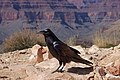 Raven -Grand Canyon, Arizona, USA-8.jpg