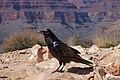 Raven -Grand Canyon, Arizona, USA-8.jpg