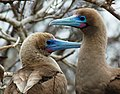 Red-footed boobies (4229068918).jpg