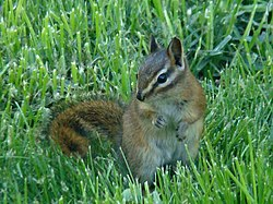 Red-tailed Chipmunk (Tamias ruficaudus).jpg