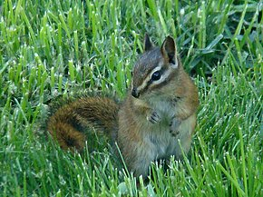 Description de l'image Red-tailed Chipmunk (Tamias ruficaudus).jpg.