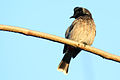 Red-vented Bulbul (Pycnonotus cafer).JPG