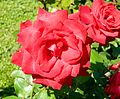 Red Rose flowers 04.jpg
