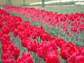 Red Tulips in Bloom.JPG