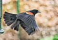 Red Wing Blackbird.jpg
