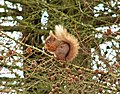 Red squirrel - geograph.org.uk - 702689.jpg