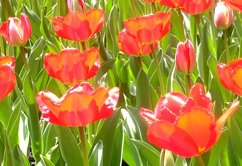 File:Red tulips.jpg
