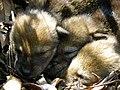 Red wolf pups (7013874611).jpg
