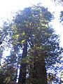 Redwood 2007.jpg