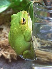 Owston's Green Tree Frog (Rhacophorus owstoni)