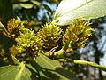 Rhamnus alaternus, vrugstadiumbloeiwyses, Meiringskloof, a.jpg