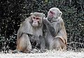 Rhesus macaque Macaca mulatta preening DSCN7233 (2).jpg