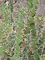 Rhino Thorn (Euphorbia grandicornis) (32367450925).jpg