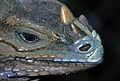 Rhinoceros Iguana (Cyclura cornuta) (7781282878).jpg