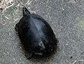 Rhinoclemmys funerea 9zz.jpg